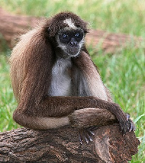 1200px-BrownSpiderMonkey_(edit2)