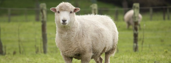 bigstock-Sheep-in-paddock-47692666
